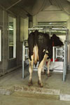 COW-IN-METHANE-CHAMBER_TN